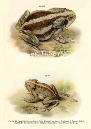 Die Agua Oder Gemeine Leisten Kröte. (Docidophryne Agua.) - Toad, Agua Or Common Rodent